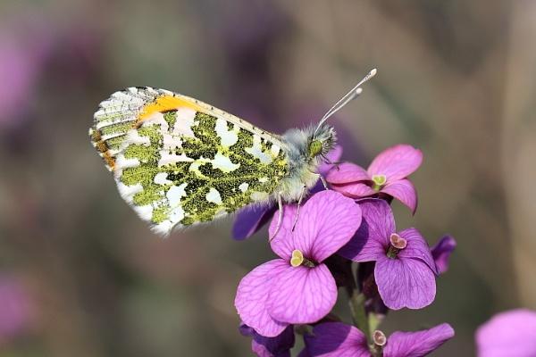 Orange Tip Butterfly by gwood