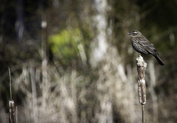 Bullrush Bird by Daisymaye