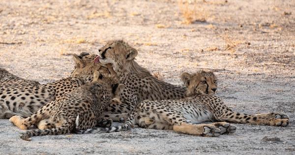 Grooming Cheetahs by rontear