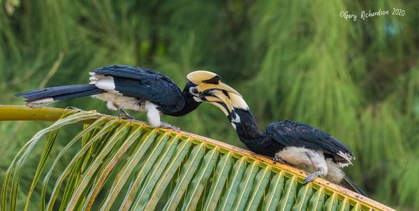 oriental pied hornbills by djgaryrichardson