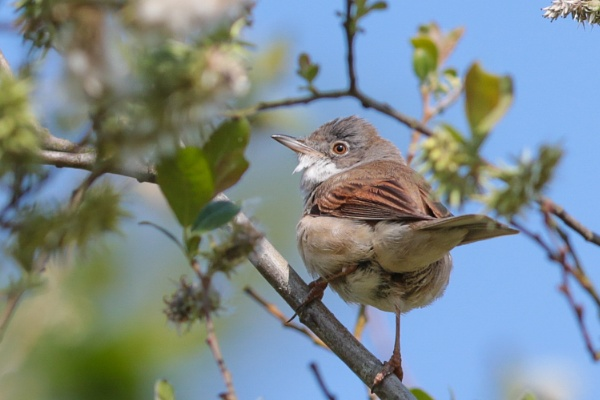 whitethroat (Sylvia Communis) by shifter46