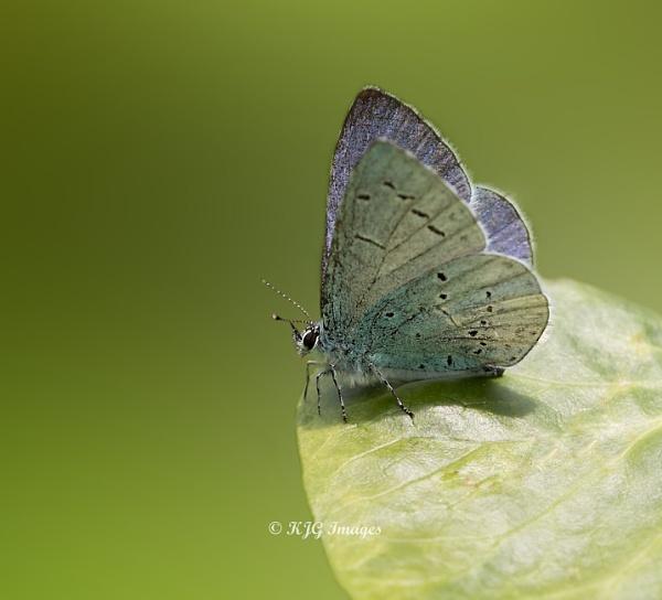 Holly Blue (m) by kaz1