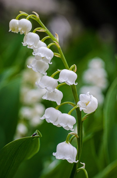 Lily of the valley ( Convallaria majalis ) with a small admirer by chavender