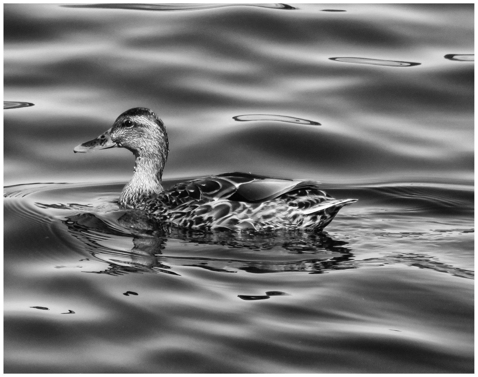 A Female Mallard On Silky Water