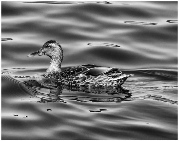 A Female Mallard On Silky Water by gconant
