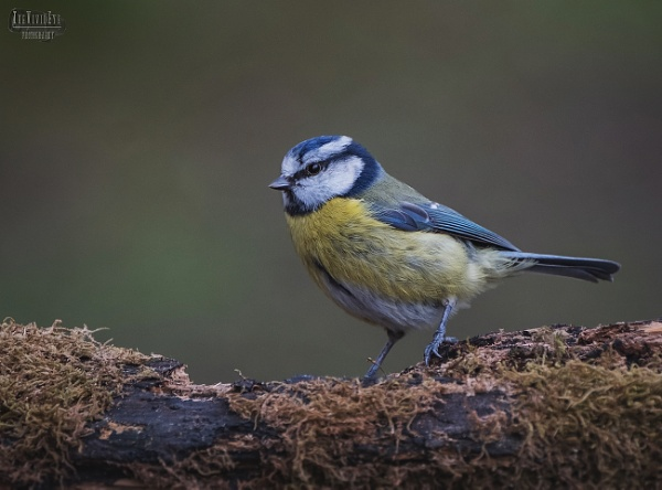 The Blue Tit by MartinWait