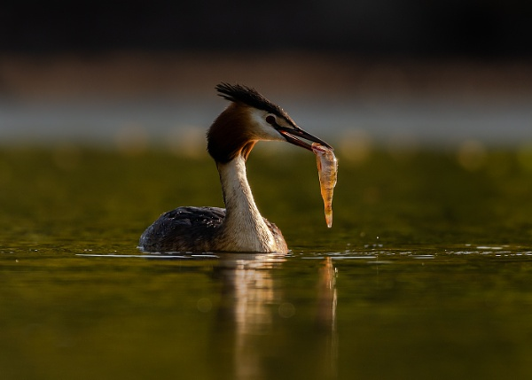 Great Crested Grebe With Fish by BydoR9