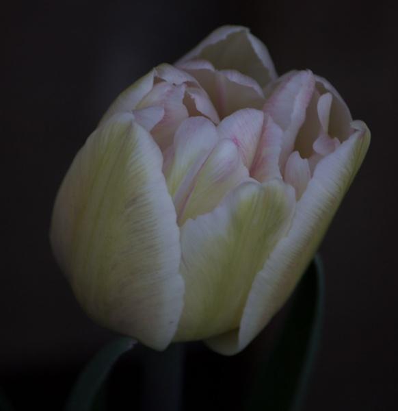 Evening Tulip by DinkyDoo