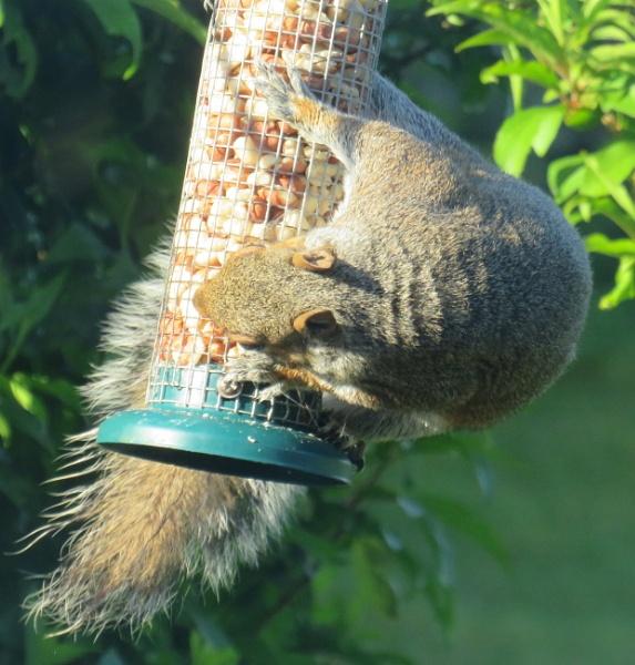 Grey Squirrel by ddolfelin