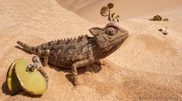 Chameleon in the Namib Desert, Namibia by brian17302