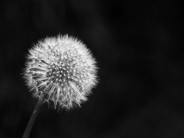 Dandelion seedhead by Snapper100
