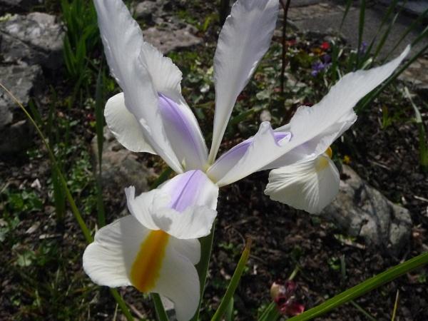 Garden Iris by carol01