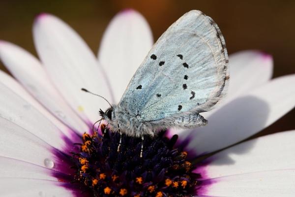 Holly Blue by Steveo28