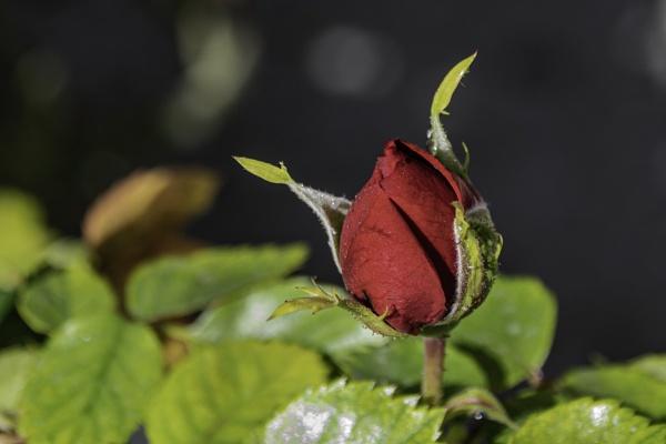 Rose Bud by jimobee