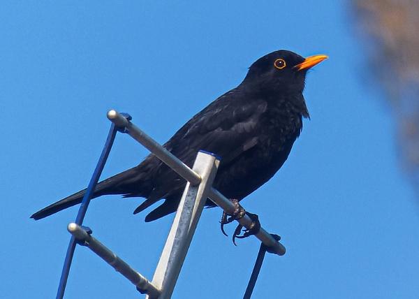 Blackbird by photowanderer