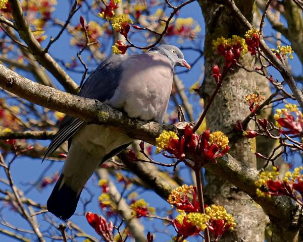 Pigeon In A Tree by photowanderer