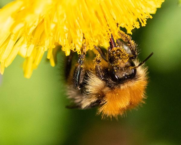 Bee Dandy by Danny1970