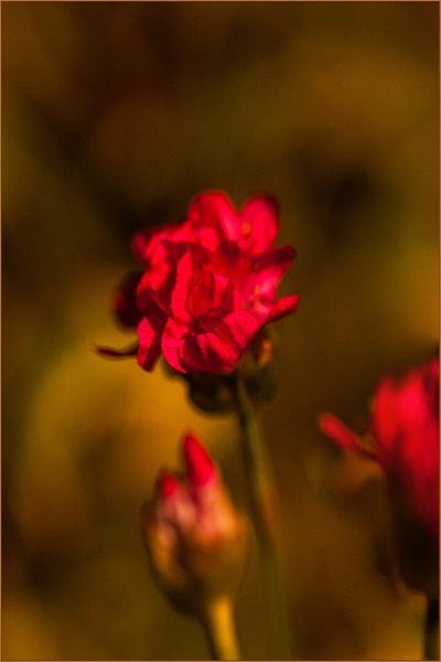 morning star rose... by estonian