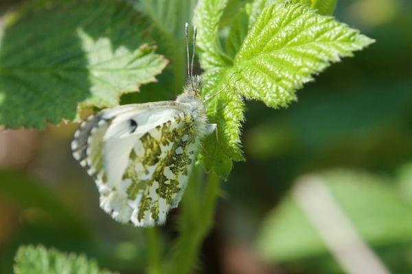 Female Orange Tip butterfly by prtd