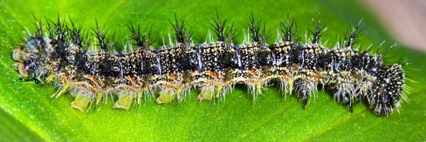 Small Tortoiseshell Caterpillar.. by bobpaige1