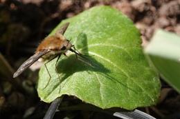 Bee fly shadow
