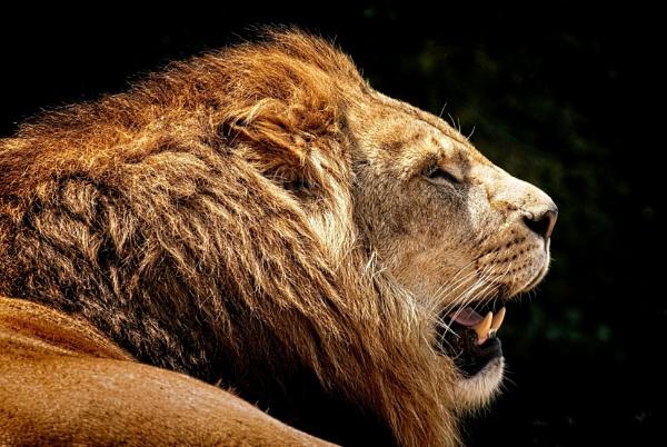 Lion portrait by BiffoClick