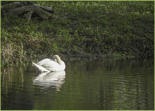 Swan Preening by AlfieK