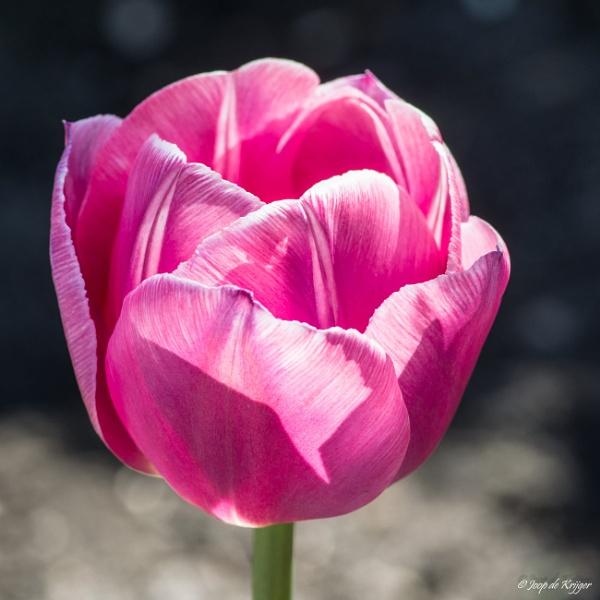 Tulip by joop_