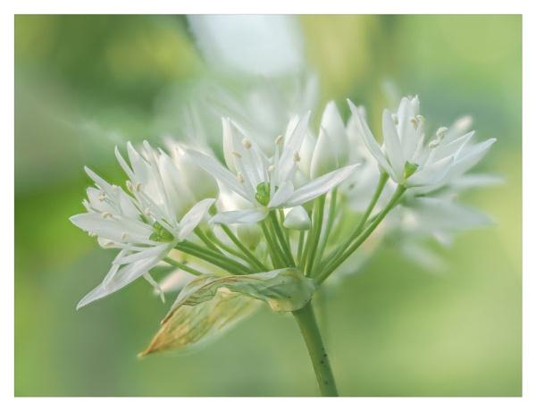 Wild garlic by suemart