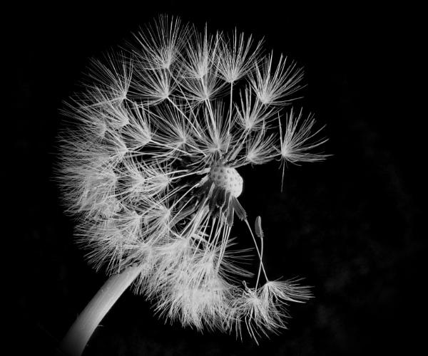 Dandelion Seed Head by loves2travel
