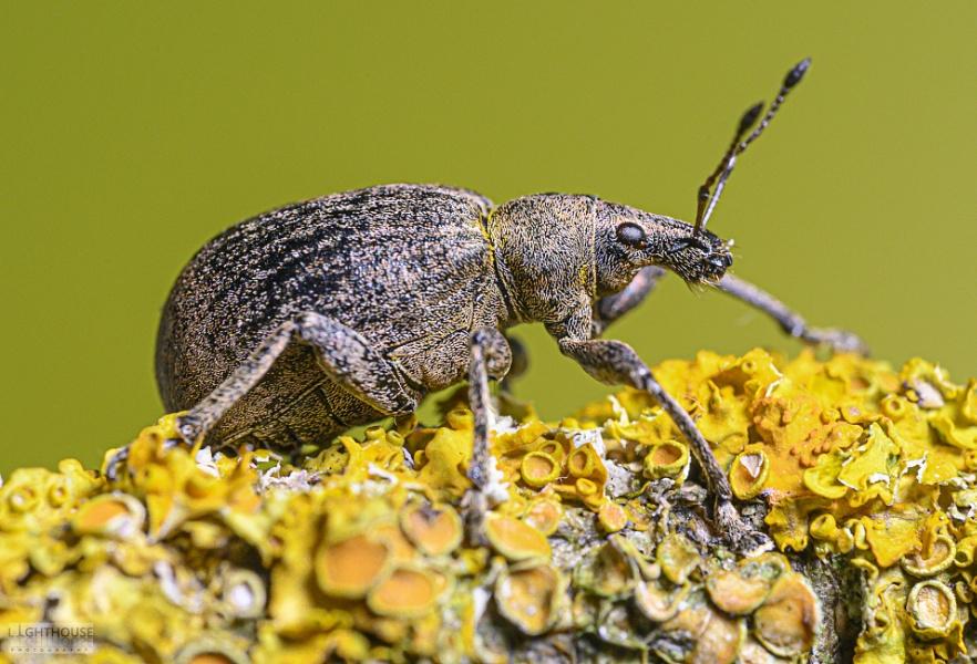 Common Leaf Weevil