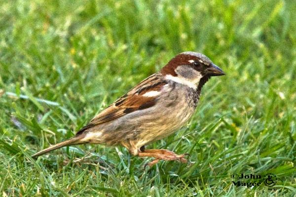 Mid-Hop Sparrow by Jmag60