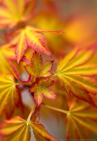 "Acer palmatum \""Orange Dream\"" by AntHolloway"