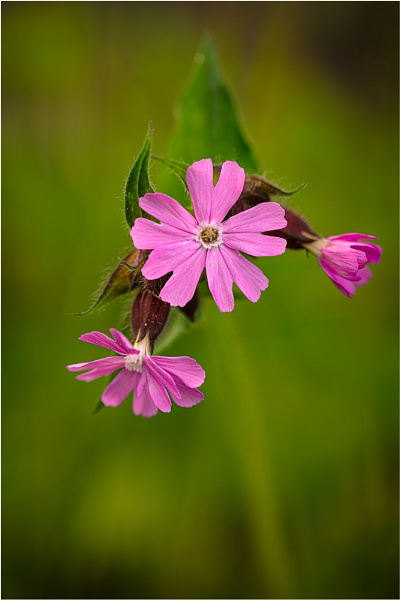 Red Campion by sherlob