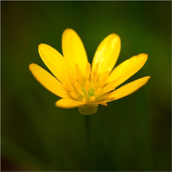 Lesser Celandine (Ranunculus ficaria) by sherlob