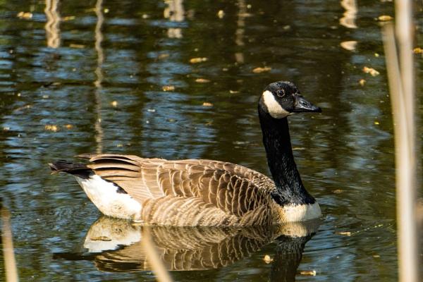 Canada Goose by terra