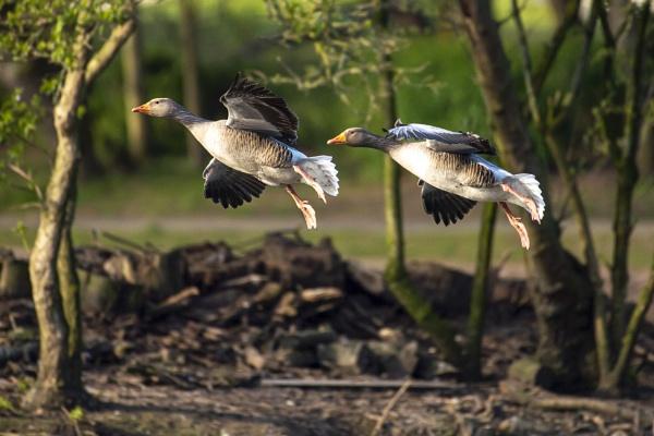 Grey Geese by chensuriashi