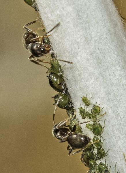 Black ants by JeanE