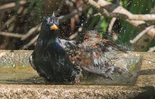 Sharing the bath by oldgreyheron