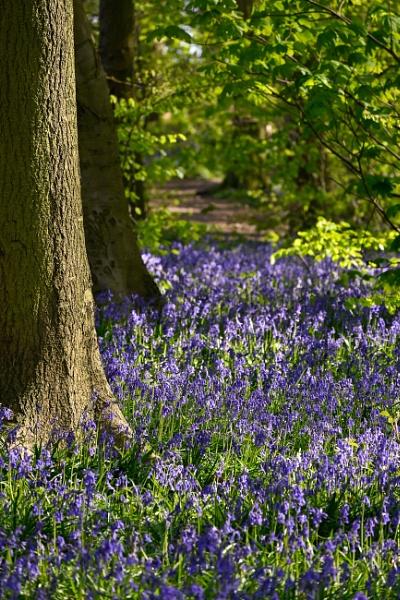 Bluebell walk by RoyChilds