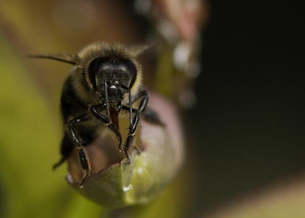 portrait of a Bee by stevegilman