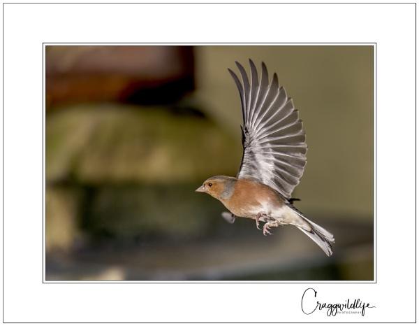 Chaffinch  in flight.. by craggwildlifephotography