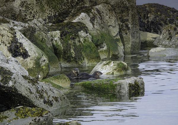 Playful Otters by Daisymaye