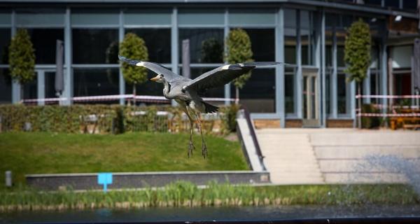 Hovering Heron by bobelle