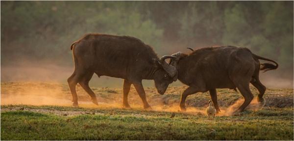 Buffalo battle by esoxlucius