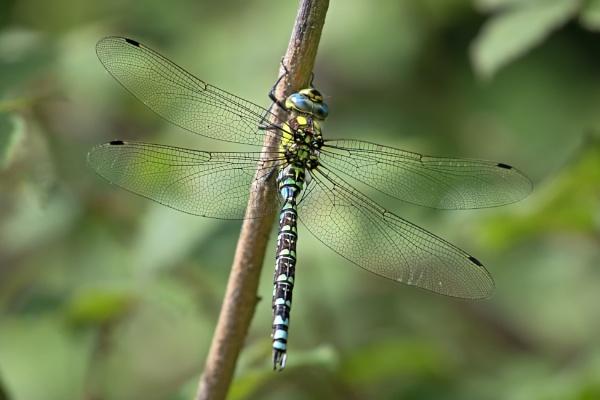 Southern Hawker (Aeshna cyanea) by Ray_Seagrove