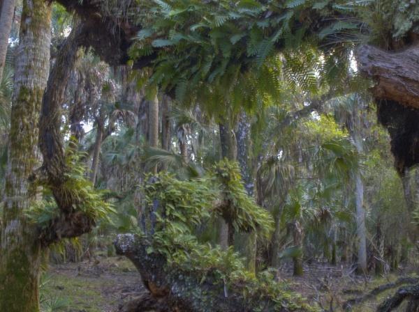 Resurrection ferns by jbsaladino