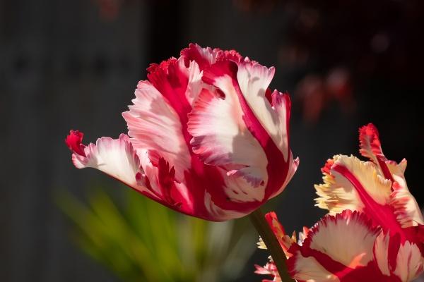 Parrot Tulip by RolandC