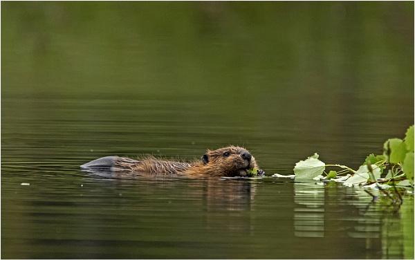 Beaver kitten feeding by hibbz