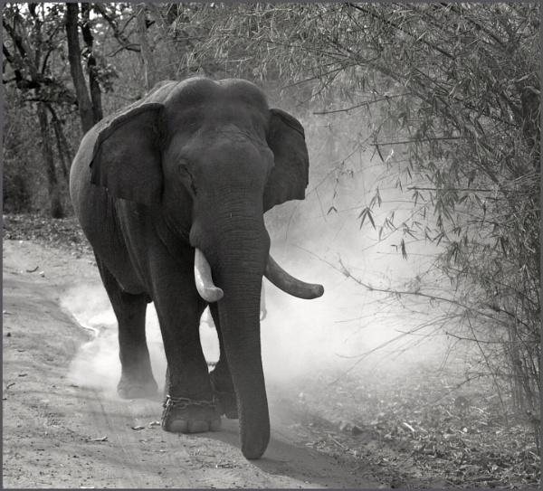 Indian Elephant by JuBarney